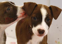 Wake County SPCA - Puppy